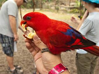 Ein Papagei lässt sich einen Apfel schmecken © bryce_edwards